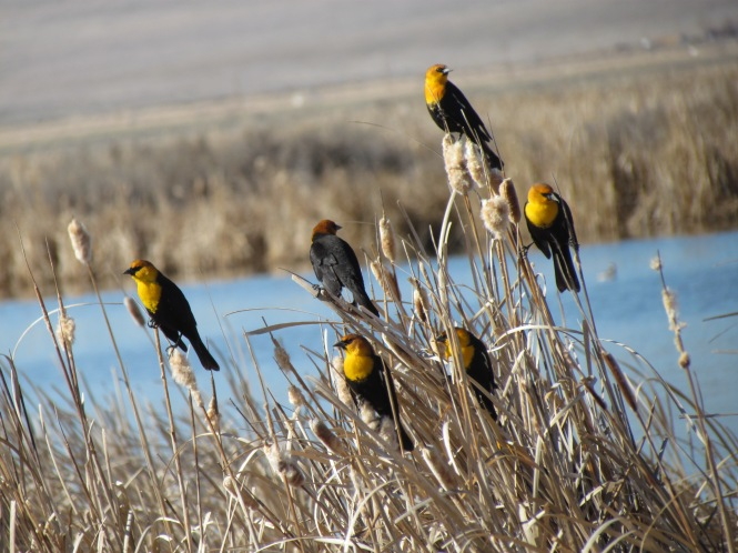 Yellow-Headed Blackbirds