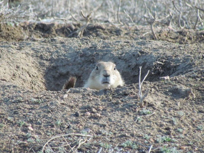 Black-tailed Prairie Dog. This iconic rodent of the Great Plains often is the victim of development.
