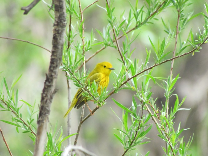 Yellow Warbler. By virtue of its location at the border of the Great Plains and the Rocky Mountains, springtime is a haven for migratory birds in Colorado Springs.