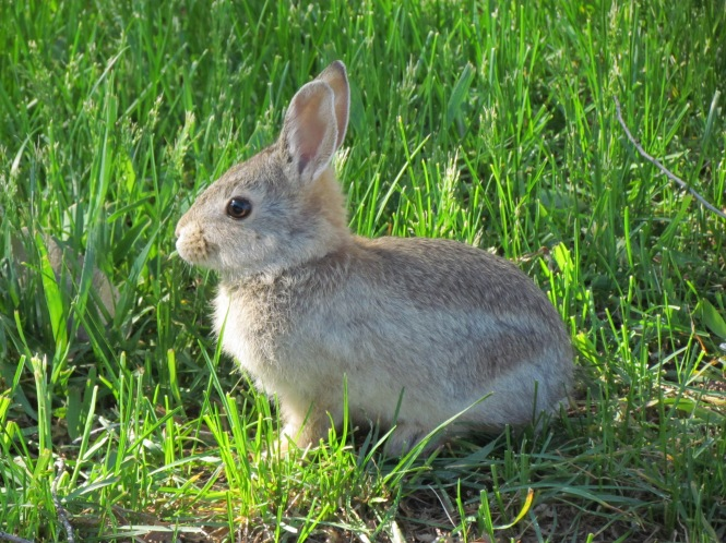 Spring brings new generations of Cottontail Rabbits into our neighborhood.
