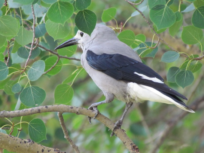 Clark's Nutcracker in an aspen tree in the mountains of Colorado.