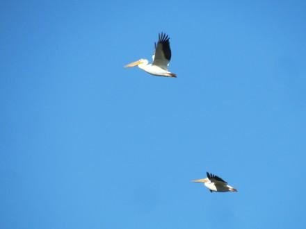 American White Pelican