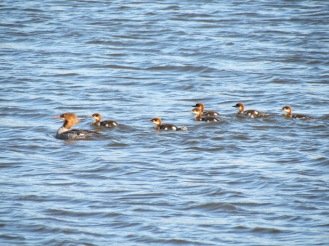 Common Merganser Family