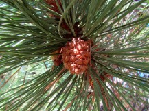 Female cones of a Ponderosa Pine