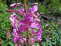Close-up of fireweed