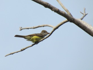 Great-crested Flycatcher (Myiarchus crinitus), new, too