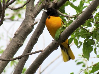 Baltimore Oriole (Icterus galbula), new for me