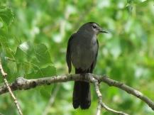 Gray Catbird (Dumetella carolinensis), a great singer