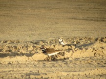Piping Plover next to Killdeer (Charadrius vociferus)