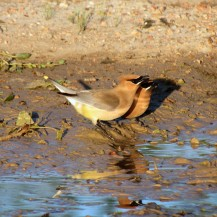 Cedar Waxwings (Bombyilla cedrorum), always a treat