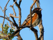 The ubiquitous Spotted Towhee. We saw many, but I substituted a better photo from another location.