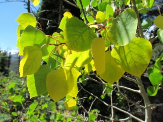 Aspen leaves starting to turn