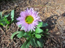 A single aster blooming close to our tent