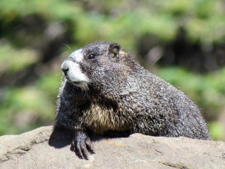 Yellow-bellied Marmot, soaking in the sun