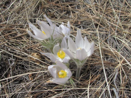 Pasqueflowers in March