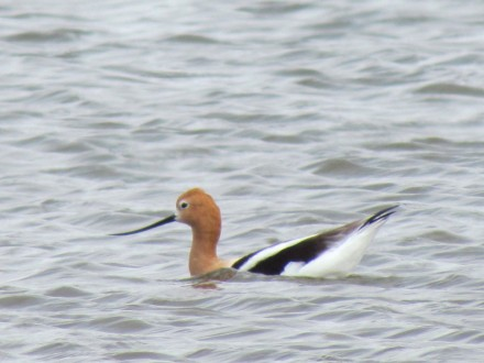 American Avocet, one of my favorite shorebirds/Amerikanischer Säbelschnäblerr