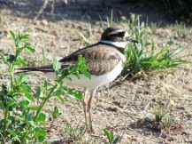 The always amusing Killdeer/Keilschwanz-Regenpfeifer