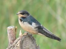 Barn Swallow/Rauchschwalbe