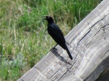 Grackle visitor on the bridge