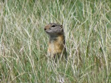 Gunnison Prairie Dogs also dwell in the meadow