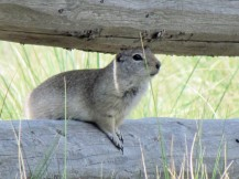 Wyoming Ground Squirrels live in the meadow next to the house