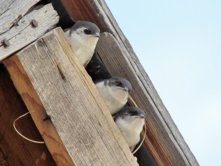 Violet-green Swallows nesting under the eaves of the house. Their ancestors might have cheered the Hornbeks with their presence.