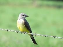 Western Kingbird/Arkansastyrann