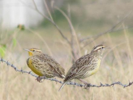Western Meadowlarks/Wiesenstärling