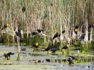 Yellow-headed and Red-winged Blackbirds/Gelbkopf- und Rotschulterstärling und