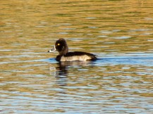 Ring-necked Duck/Halsringente