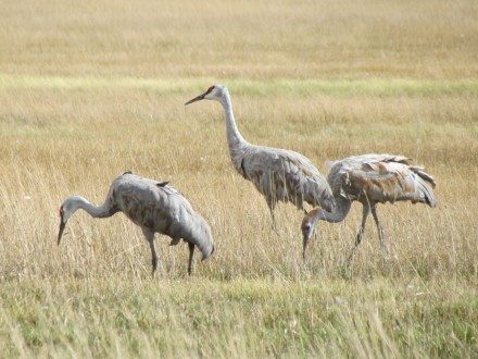 Crane family, two adults, one juvenile