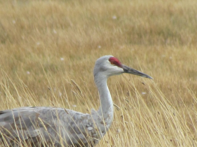 Adult crane with red patch