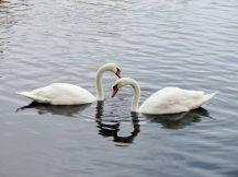 Mute Swan pair/Höckerschwanenpaar