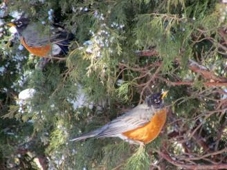 American Robin/Wanderdrossel