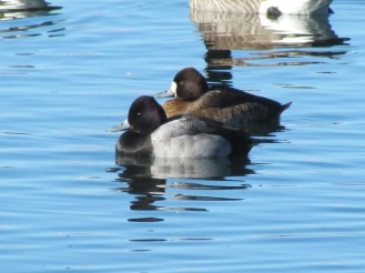 Lesser Scaup, male in the front, female in the back