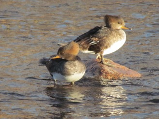 Hooded Merganser, two females