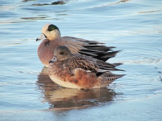 American Wigeon, male in the back, female in the front