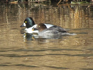 Common Goldeneye, female in the front, male in the back