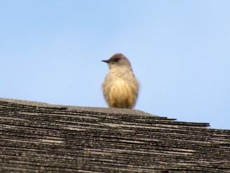 Say's Phoebe, spring migrant/Zimtbauch-Phoebetyrann, ein Zugvogel