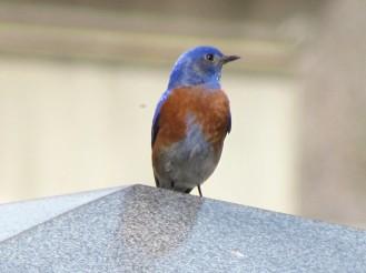 Western Bluebird, spring migrant/Blaukehlhüttensänger, ein Zugvogel