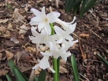 Hyacinth/Hyazinthe