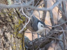 White-breasted Nuthatch, year-round resident/Carolinakleiber, ein Standvogel