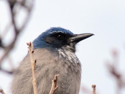 Scrub Jay, year-round resident/Buschhäher, ein Standvogel