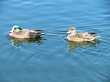 American Wigeon, male on the left, female on the right