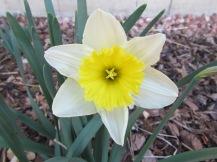 Daffodil/Osterglocke
