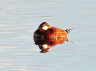 Ruddy duck, male, snoozing