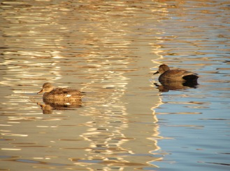 Gadwall, female on the left, male on the right