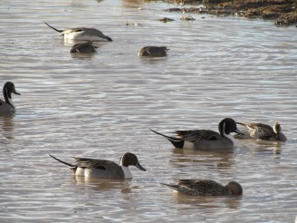 Northern Pintail, males and females