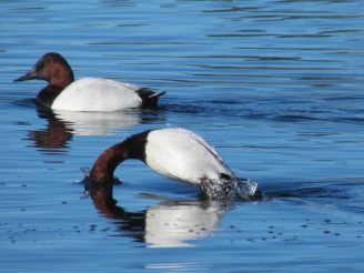Canvasback, two males