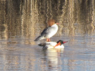 Common Merganser, male in the front, female in the back